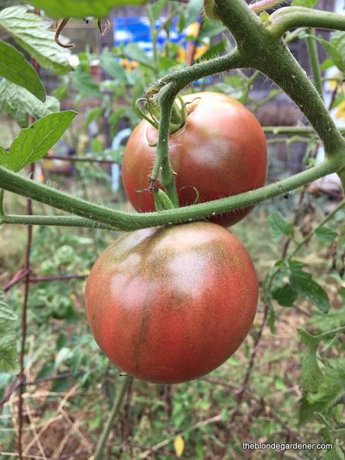 Cherokee purple is an heirloom tomato that is easy to grow and one of my favorites! https://theblondegardener.com/2017/10/15/storing-green-tomatoes/ https://theblondegardener.com/2018/03/11/how-to-start-tomatoes-from-seed/